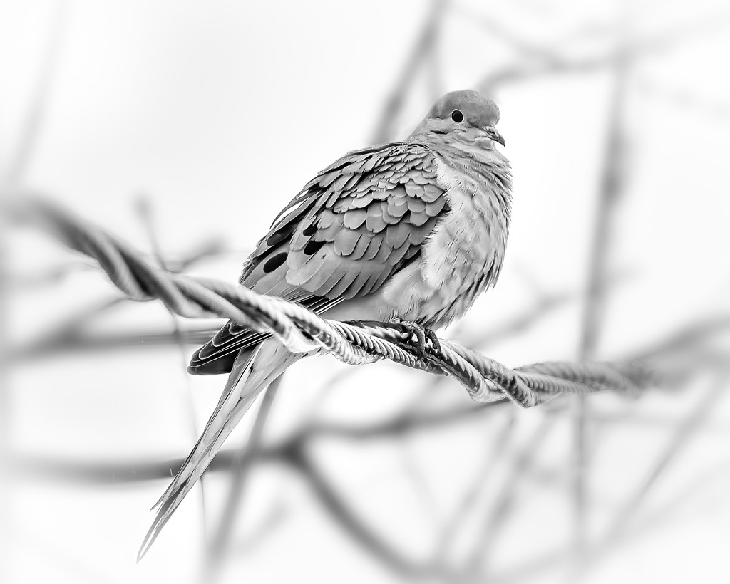 mourning dove on the wire by jernst1779