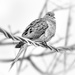 mourning dove on the wire on 365 Project