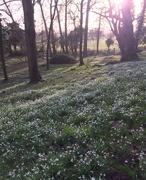 5th Feb 2020 - Snowdrops at the Weir garden