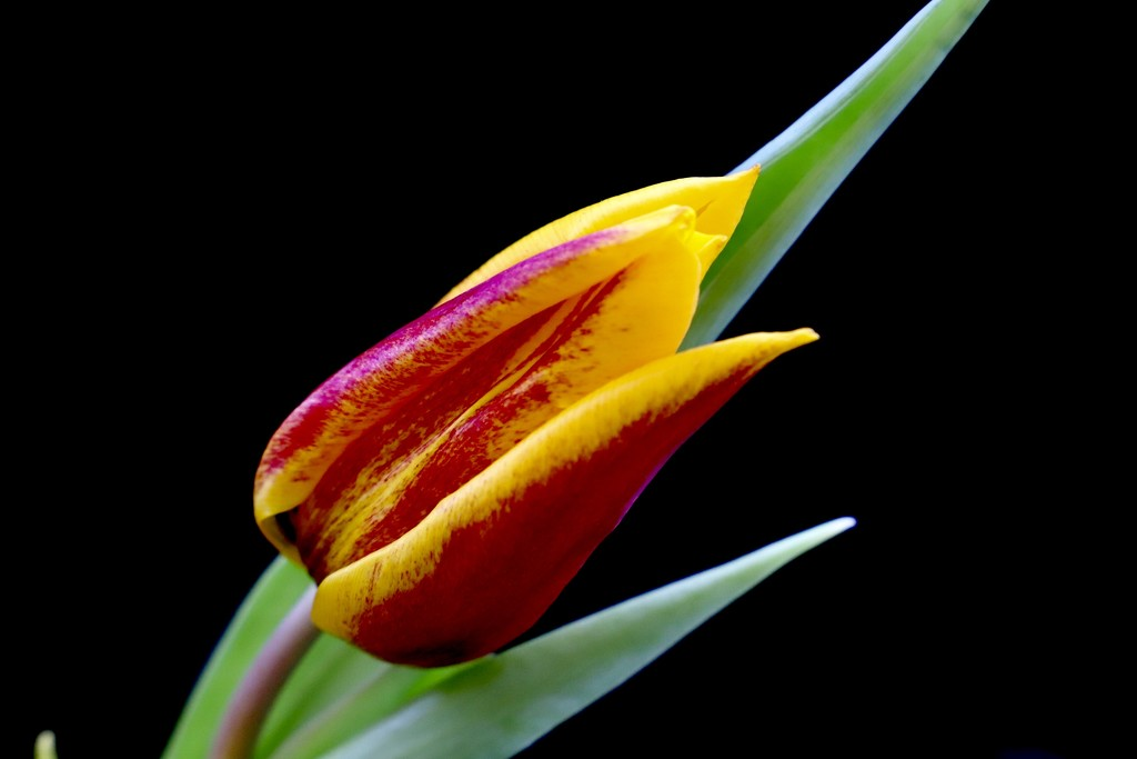 Solitary Tulip by carole_sandford