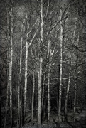 6th Feb 2020 - Birch Trees