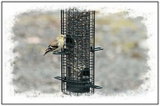6th Feb 2020 - A Goldfinch at the Feeder