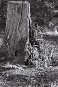 6th Feb 2020 - That old stump