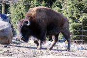 17th Jan 2020 - Bison On The Range