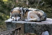 25th Jan 2020 - Mexican Gray Wolf Resting