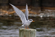 7th Feb 2020 - And stretch............ young black fronted tern