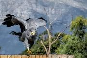 7th Feb 2020 - African Harrier Hawk- (Gymnogene)