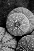 7th Feb 2020 - Sea urchins