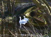 7th Feb 2020 - Swans