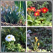 7th Feb 2020 - Spring flowers from my garden