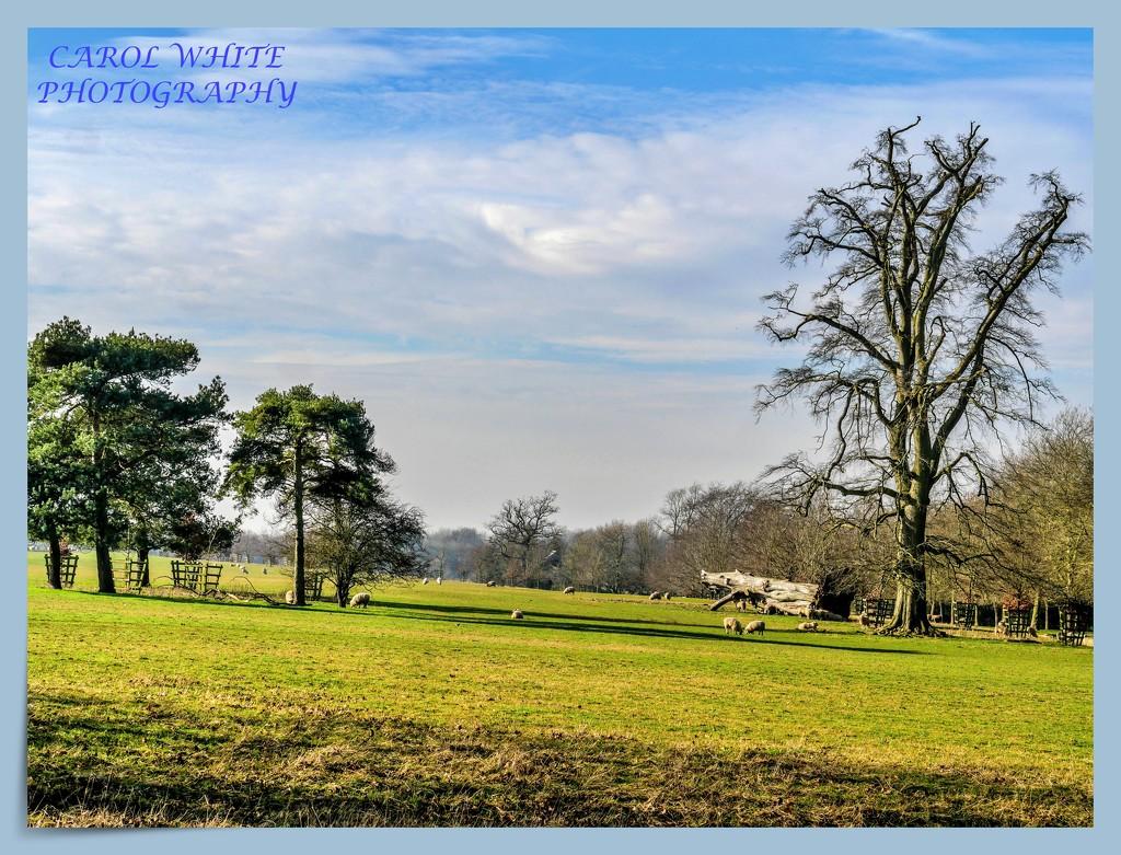 Sheep At Stowe by carolmw