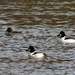 Common goldeneye trio