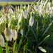 snowdrops in Holland