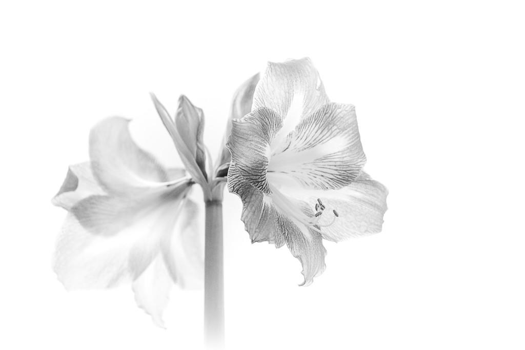 Amaryllis high key by jnorthington
