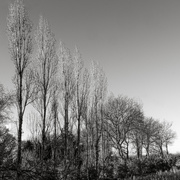 7th Feb 2020 - Forms in Nature: Poplars and Oaks...