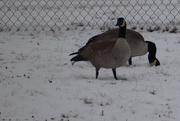 7th Feb 2020 - Canadian Geese