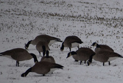 7th Feb 2020 - A Gaggle of Geese