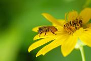 8th Feb 2020 - Bee on a daisy