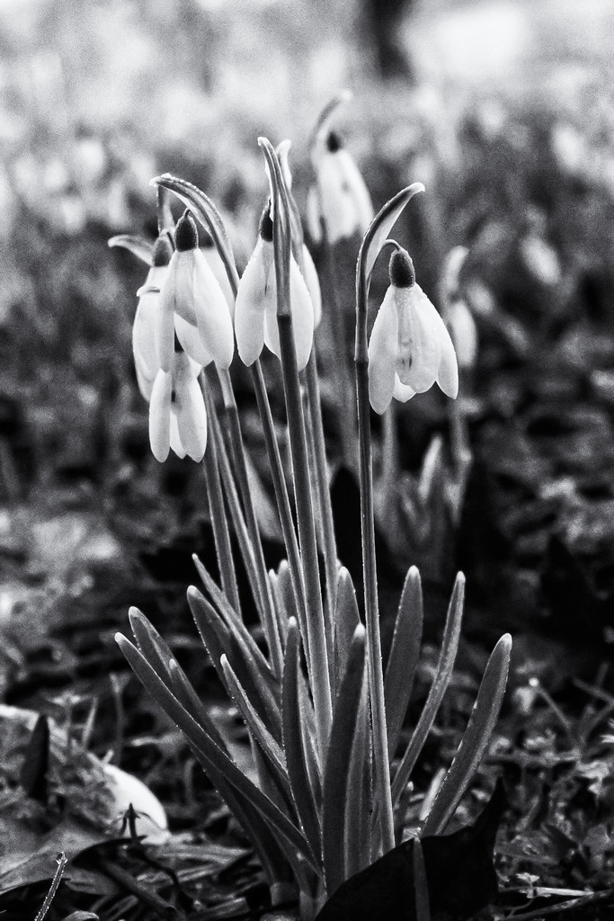 More snowdrops by pamknowler