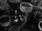 7th Feb 2020 - planted some primulas