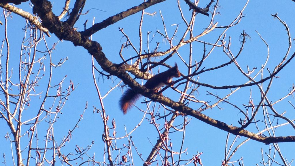 Squirrel by petaqui
