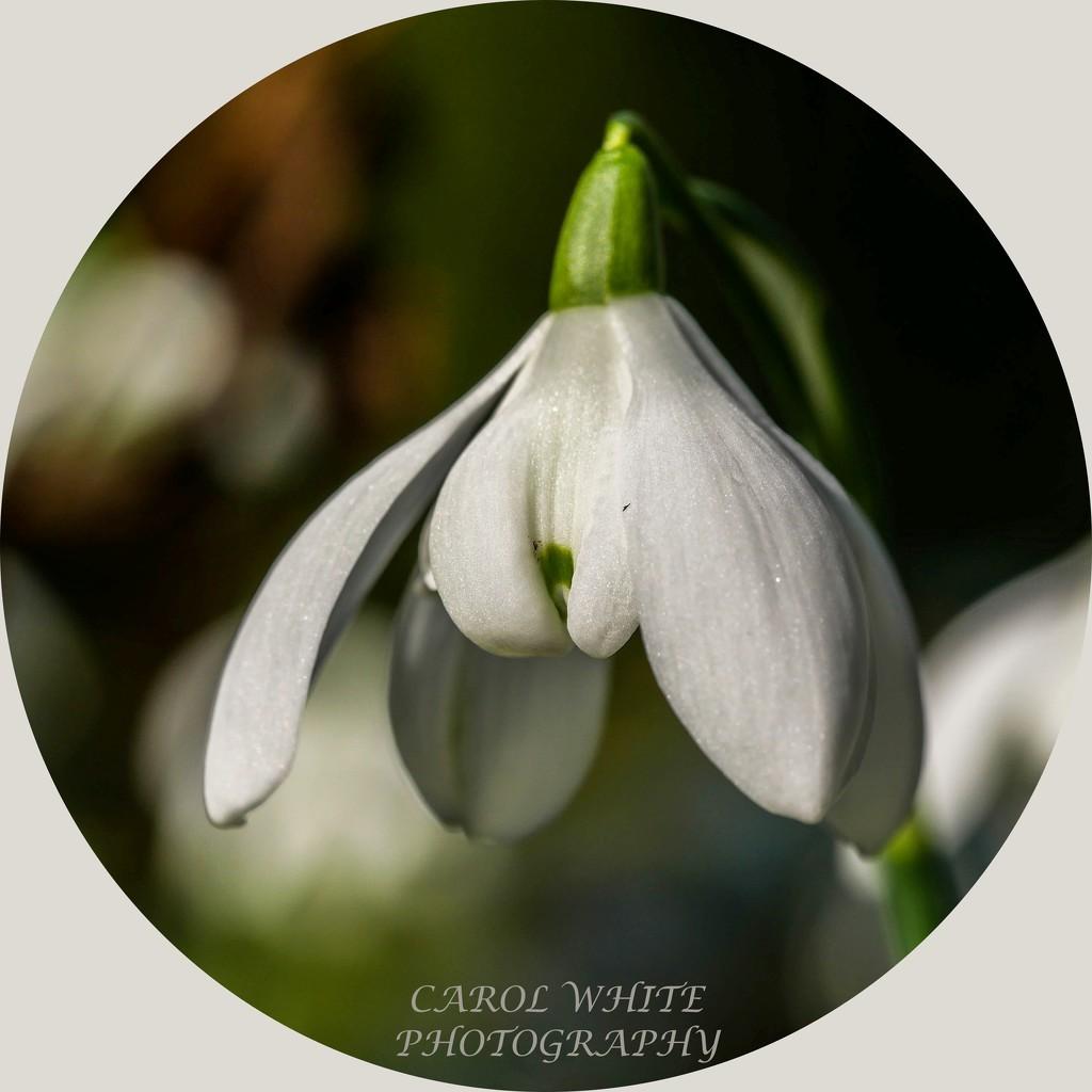 Snowdrop by carolmw