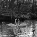 7th Feb swans by valpetersen