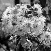8th Feb 2020 - Gum Blossom P1300812