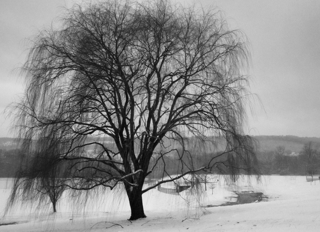 Weeping Willow in B&W by mittens