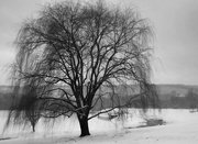8th Feb 2020 - Weeping Willow in B&W