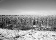 8th Feb 2020 - Corn field