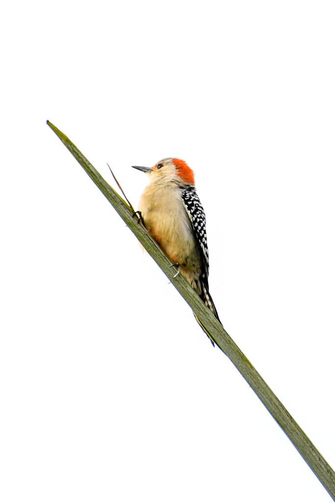 Baby woodpecker by danette