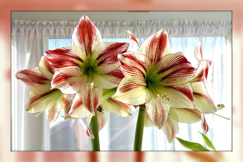 Now in full bloom  by beryl