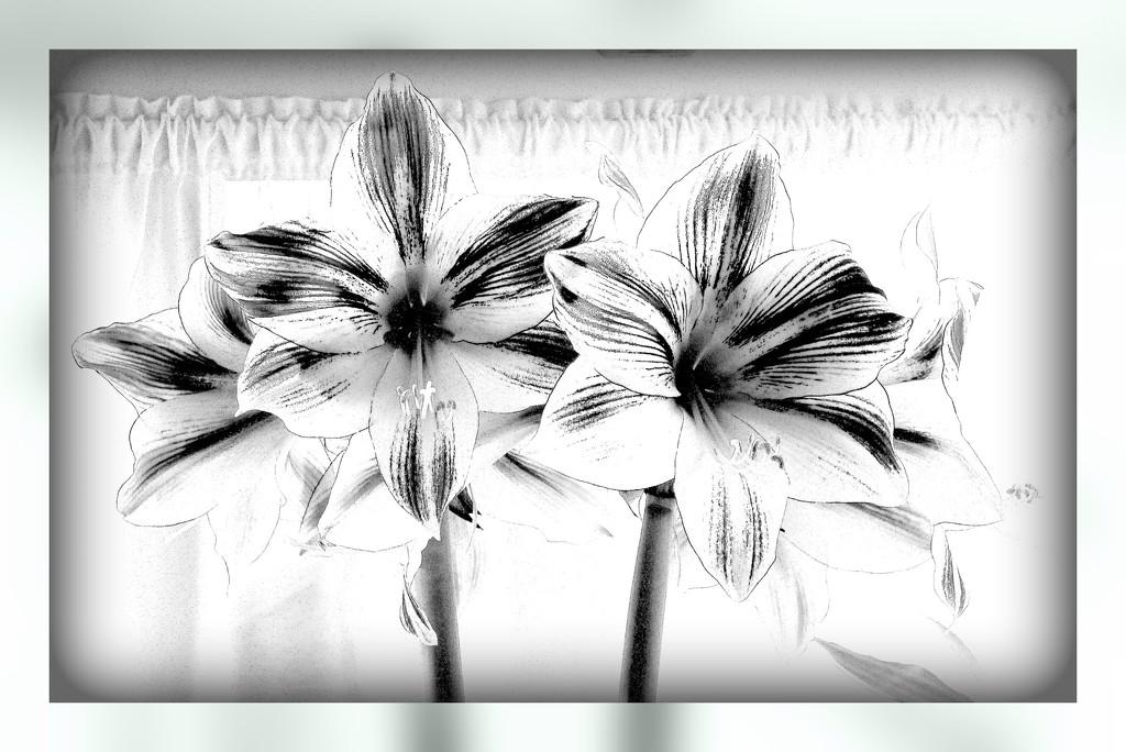 My Amaryllis in B&W by beryl