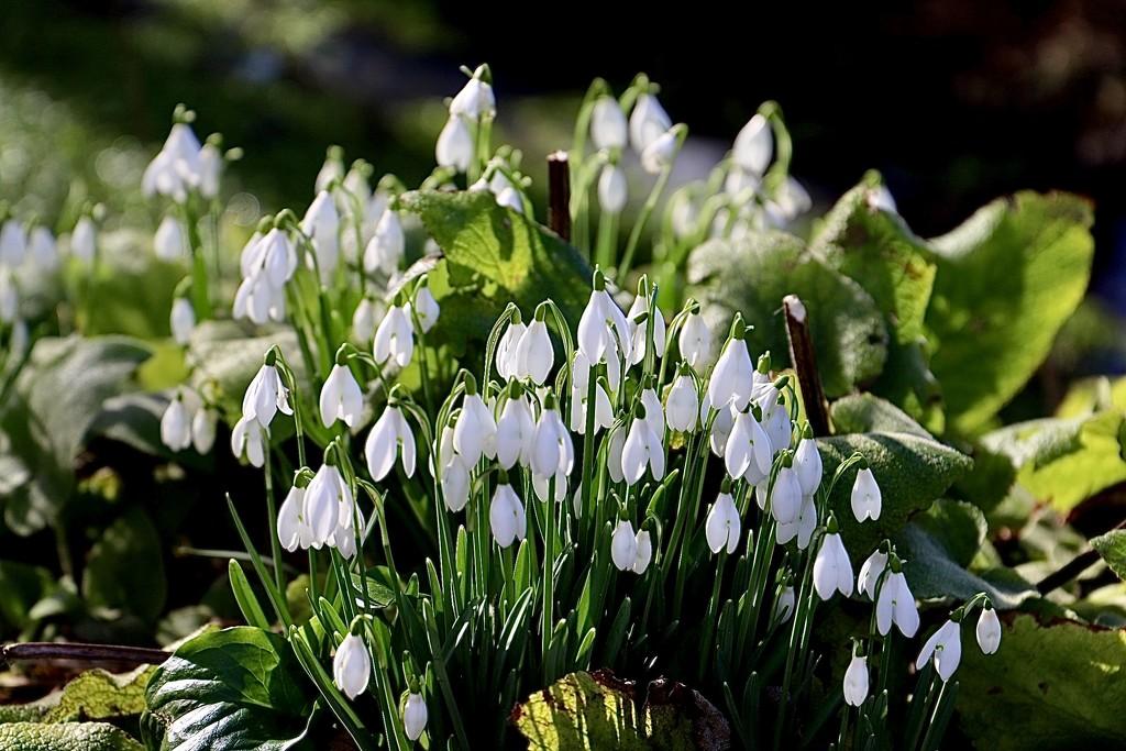 Doddington Snowdrops  by carole_sandford