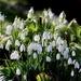 Doddington Snowdrops