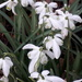 Anglesey Abbey snowdrops by mave