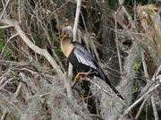 8th Feb 2020 - Female Anhinga