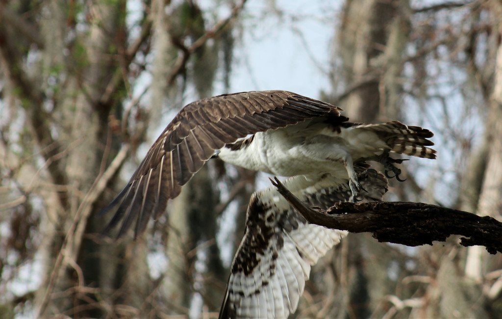 Osprey, Taking flight. by rob257