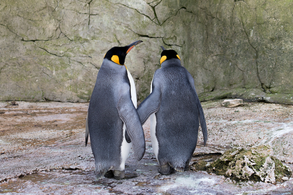 P-p-pick up a penguin by peadar