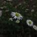 Daisies grow wild.....