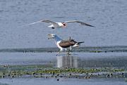 9th Feb 2020 - Caspian tern fights back!