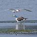 Caspian tern fights back!