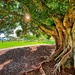 Moreton Bay Fig revisited