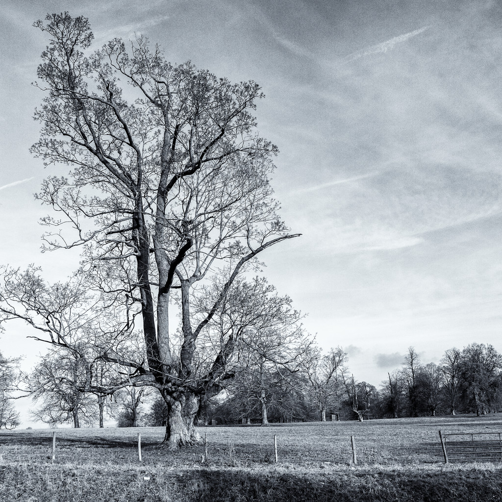 Lone Tree by pamknowler