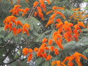 9th Feb 2020 - Flowers of the Flame Tree