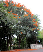 6th Feb 2020 - The Flowering Flame tree