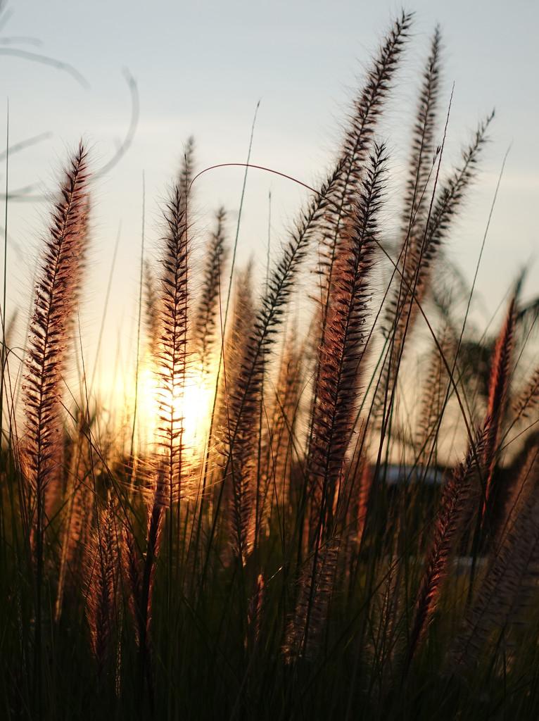 Fountain grass by libbykdowninggmailcom