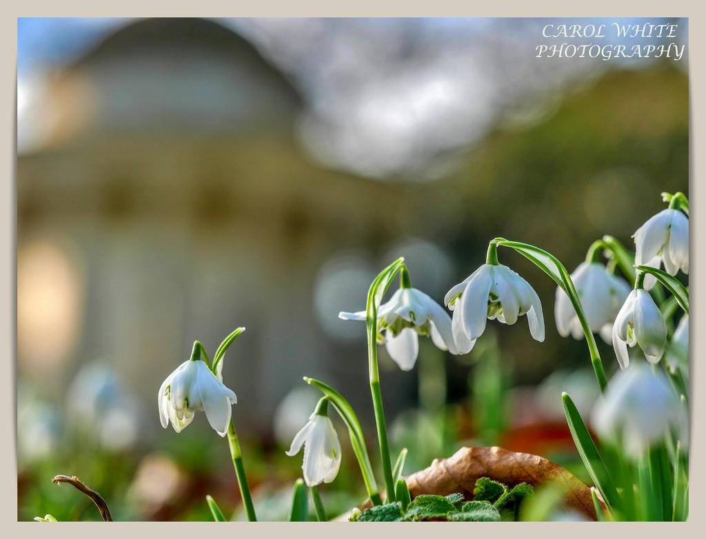 Snowdrops And Bokeh by carolmw