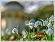 9th Feb 2020 - Snowdrops And Bokeh